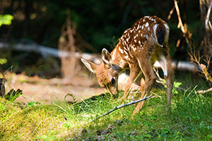 One of two very young fawns I saw playing with their mother while traveling through Mt. Rainier National Park. - Pacific Northwest Photograph