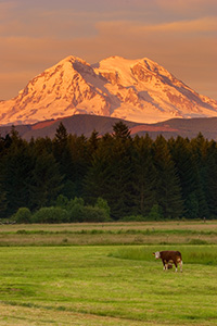 Several cows guard Mt. Rainier during a spectacular sunset. - Pacific Photograph