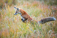 A red fox begins his pounce on unsuspecting prey in the Kawuneeche Valley of western Rocky Mountain National Park, Colorado. - Colorado Photograph