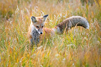A red fox searches through the tall grass for his next meal in the Kawuneeche Valley of western Rocky Mountain National Park, Colorado. - Colorado Photograph