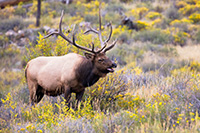 A bull elk bugles to its mates in Rocky Mountain National Park, the sound echoing through Moraine Park. - Colorado Wildlife Photograph