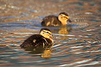 Two mallard ducklings play in a pond in Omaha, Nebraska. - Nebraska Photograph