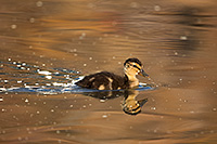 A mallard duckling swims quickly across the water as the sun sets in the distance. - Nebraska Photograph