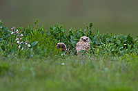 A pair of adult burrowing owls watches from their burrow at Crescent Lake Wildlife Management Area in the Sandhills of Nebraska. - Nebraska Photograph
