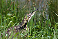 An American Bittern looks out across a small lake in the Sandhills of Nebraska. - Nebraska Photograph