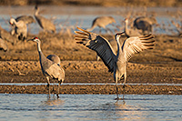 A Sandhill Crane twirls an dances in the early morning sunlight on a sandbar in the Platte River in Nebraska. - Nebraska Photograph