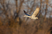 A Sandhill Crane gets ready to soar through the sky above the Platte River in Central Nebraska in the warm morning light. - Nebraska Photograph