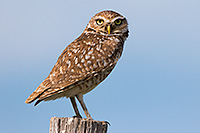 A burrowing owl watches for prey on the Oglala Grasslands from a fencepost. - Nebraska Photograph