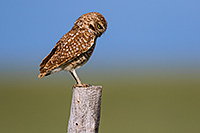 A burrowing owl scans the ground for potential prey on the Oglala Grasslands in western Nebraska. - Nebraska Photograph
