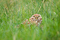An adult burrowing owl watches from his burrow on the Oglala Grasslands in western Nebraska. - Nebraska Photograph