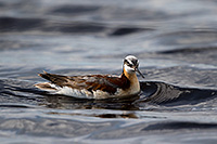 A Wilson's Phalarope floats on one of the many small lakes nestled in the valleys of the Sandhills of Nebraska. - Nebraska Photograph