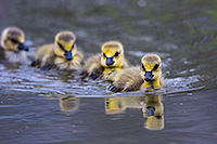A gaggle of goslings swim in a line in one of the ponds at Schramm Park State Recreation Area. - Nebraska Photograph