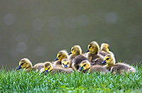 A group of goslings pile on top of one another at Schramm Park State Recreation Area. - Nebraska Photograph