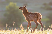 A young elk calf pauses in Moraine Park in Rocky Mountain National Park, it's fur glowing in the warm morning sun. - Colorado Wildlife Photograph