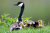 A mother Canada Goose protects her goslings under her wings at Schramm in Eastern Nebraska. - Nebraska Photograph