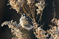 A White Crowned Sparrow pauses on a Goldenrod withered in the winter at Boyer Chute National Wildlife Refuge in eastern Nebraska. - Nebraska Wildlife Photograph