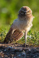 A young owl chick stretches his wing in the morning sun in Badlands National Park, South Dakota. - South Dakota Wildlife Photograph
