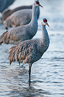 A Sandhill Crane prepares to bed down for the night in the waters of the Platte River. - Nebraska Photograph
