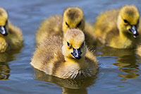 Goslings swim in the afternoon sun in one of the ponds at Schramm Park State Recreation Area. - Nebraska Photograph