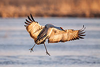 A Sandhill Crane lands on a sandbar on the Platte River in central Nebraska. - Nebraska Photograph
