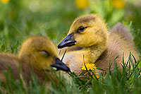Two goslings rest in the shade at Schramm Park State Recreation Area. - Nebraska Photograph