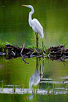 A Great White Egret stands with elegance on branches collected by beavers in a small lake in the Ozark Mountains. - Nebraska Photograph