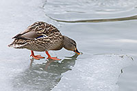 A duck stops on the ice to take a quick drink. - Nebraska Photograph