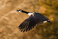 A Canada Goose at Schramm State Recreation Area in eastern Nebraska takes flight after being startled. - Nebraska Photograph