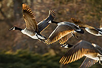 Four Canada Geese take to the sky from Schramm State Recreation Area. - Nebraska Photograph