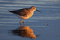 On a cool April evening, a yellowlegs is bathed in the warm light of the setting sun at Little Salt Fork Marsh in Lancaster County. - Nebraska Wildlife Photograph