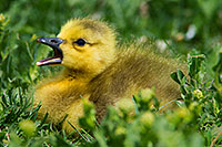 A young gosling yawns in the afternoon sun near one of the ponds at Schramm Park State Recreation Area. - Nebraska Photograph