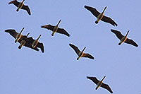 A flock of Canada Geese fly overhead at sunset going to the fields for dinner. - Iowa Photograph