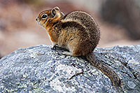 A chipmunk perches on a rock near Sprague Lake in Rocky Mountain National Park. - Colorado Wildlife Photograph