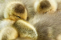 A gaggle of newly hatched gosling huddle together. - Nebraska Photograph