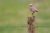 A burrowing owl watches from a fencepost near his burrow in the Sandhills of Nebraska. - Nebraska Photograph