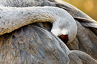 A sandhill crane appears to hid his head while grooming himself. *Captive* - Nebraska Photograph