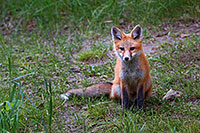 A red fox pauses briefly to gaze out through the forest at Ponca State Park, Nebraska. - Nebraska Photograph