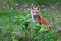 Hiding behind some foliage, A red fox pauses briefly to gaze out through the forest at Ponca State Park, Nebraska. - Nebraska Photograph