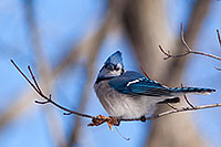 A blue jay picks at what remains of a leaf on a branch high in a tree. - Missouri Photograph
