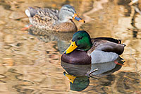 Two Mallards swim in the ponds at Schramm State Recreation Area. - Nebraska Wildlife Photograph