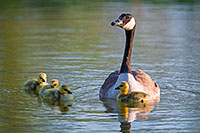 A gaggle of newly hatched goslings swim with their mother in one of the ponds at Schramm Park State Recreation Area. - Nebraska Photograph