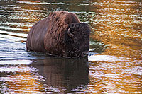A buffalo fords the Yellowstone River in Yellowstone National Park. - Wyoming Photograph