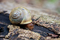 A snail makes it way slowly across a fallen log. - Missouri Photograph