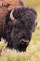 A buffalo (bison) rests at Yellowstone National Park. - Wyoming Photograph