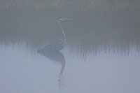 A Great Blue Heron waits in the fog at Elk Meadow in Yellowstone National Park. - Wyoming Photograph
