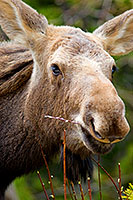 A moose portrait in Banff National Park, Alberta, Canada. - Canada Photograph