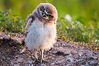 A young owl chick tilts his head in curiosity in Badlands National Park, South Dakota. - South Dakota Wildlife Photograph