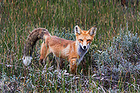 A fox pauses briefly in a field near Grand Lake, Colorado. - Colorado Photograph