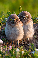 Two burrowing owl chicks watch quietly outside their home in Badlands National Park, South Dakota. - South Dakota Wildlife Photograph