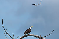 A crow taunts a Bald Eagle in high tree near his nest. Amazingly, the eagle ignored this visitor as he swooped by his head several times. Eventually, the crow tired and simply sat on this branch every so often cawing his indignation. - Nebraska Photograph